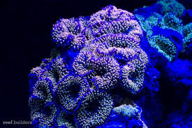 Purple Led Light Strips by Stunner Led Strip Lights From Ecoxotic News Reef Builders The