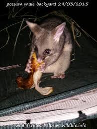 backyard possum brush tail male