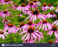 Echinacea Flower Bee On Echinacea Purpurea Flowers Growing In Summer An Herbaceous