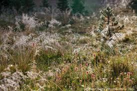 northern california native plants the summer dry meadow photobotanic