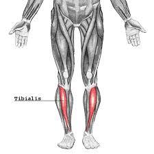 tibialis anterior muscle gray u0027s anatomy illustration radiology