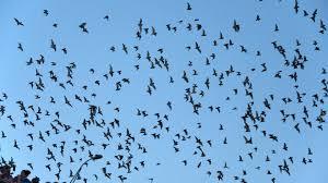 bat tag wallpapers bats chiroptera mammal flock bat swarm animals