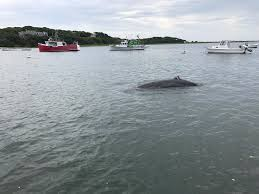whale stranded in shallow cape cod waters masslive com