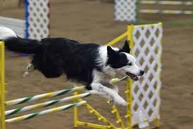 australian shepherd youtube herding 2 answers should you own a border collie or an australian