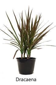 best 10 dracaena plant ideas on pinterest plant pictures
