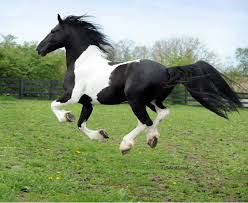 mustang horse running amazingly beautiful pinto horse photos pinterest horse