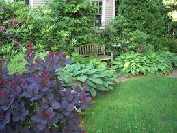 smoke bush u0026 hosta landscape ideas pinterest evergreen