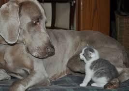 cat video little kitten meets big dog kitten wins love meow