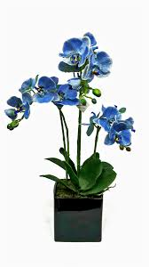 blue orchid flower get blue phalaenopsis orchid flower