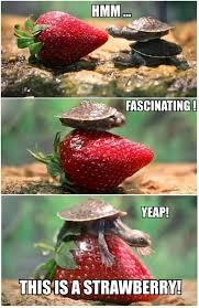 Turtle Meme - baby turtles vs strawberries turtle meme funny turtle and animal