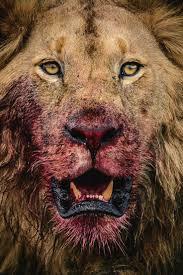 25 lion ideas lion couple lion love