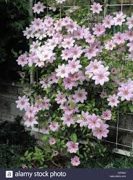 clematis blossoms pink forest vine climbing plant crowfoot