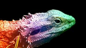 bearded dragon rainbow dragon