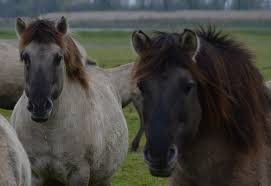 ferrari horse vs mustang horse victor ros u2013 page 7 u2013 wild equus