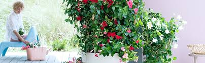 Mandevilla Plant Diseases - garden plant of the month for may mandevilla u2013 hamiplant
