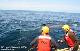 fin whale disentangled by ccs maer team center for coastal studies