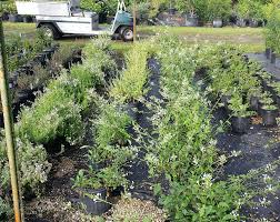 native florida plants jesse durko u0027s nursery plantant com