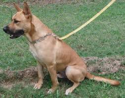 belgian sheepdog georgia cedartown ga belgian malinois meet 29523052 a dog for adoption