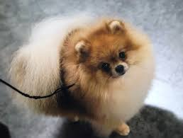 belgian sheepdog oklahoma claremore kennel club of oklahoma inc all breed claremore ok