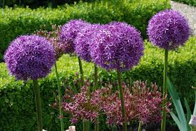 allium flowers great balls of flower alliums the biking gardener