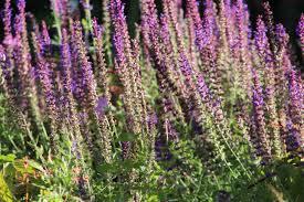 Salvia Flower Free Images Flower Herb Flora Wildflower Sage Bed Shrub