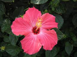 which state has a hibiscus hibiscus flower desktop wallpapers watercolor inspiration