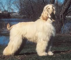 afghan hound least intelligent 5 least intelligent dogs webvet