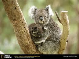 koala picture koala desktop wallpaper free wallpapers download
