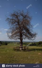 haphazard an old dead tree in a field its leafless branches twisted and