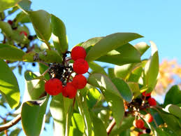 What Fruit Trees Grow In Texas - madrone tree texas hill country