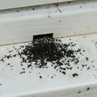best 25 earwig control ideas on pinterest earwigs plant bugs