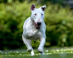 bull terrier hd wallpapers android apps on google play