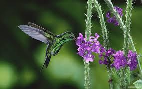 free hummingbird wallpapers wallpaper cave