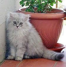 gatti persiani bianchi persiano chinchill罌