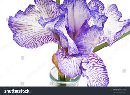 iris colored white purple trim vase stock photo 54592939