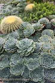 Succulent And Cacti Pictures Gallery Garden Design 77 Best Echeveria Images On Pinterest Echeveria Succulents And