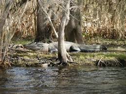 Florida lakes images Gators in the middle of fl lakes lakeland cypress gardens 2013 jpg