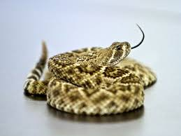 How To Find Snakes In Your Backyard Rattlesnakes Are Waking Up Coming Out In Phoenix