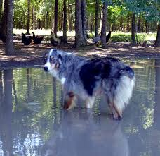 australian shepherd electric fence looking for a guard dog for chickens backyard chickens
