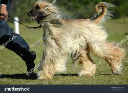 afghan hound dog images beautiful long haired afghan hound dog stock photo 15032725