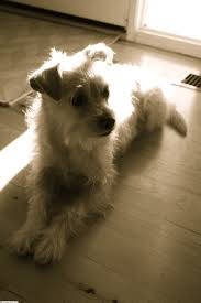 bichon frise jack russell cross temperament 14 best dogs images on pinterest pomeranians puppies and babies