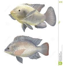 freshwater fish freshwater fish tilapia stock illustration image 75805141
