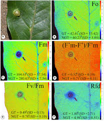 frontiers sink status and photosynthetic rate of the leaflet