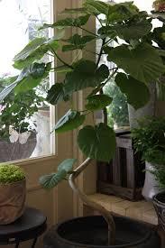 ficus umbellata greenery pinterest ficus plants and houseplants