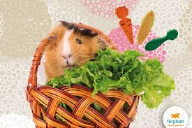 guinea pigs diet all you need to know love ferplast