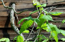 poison ivy just the facts you need to identify it