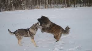 belgian sheepdog wolf hybrid caucasian ovcharka vs wolf who would win in a fight youtube