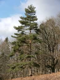 scots pine scotch pine pinus sylvestris