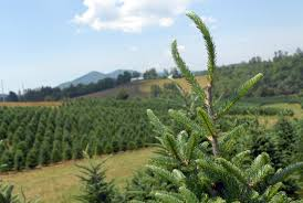 fresh christmas trees are here whole foods market