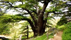 Lebanon Flag Tree Lebanon Most Beautiful Cedars Trees U2013 Lebanonuntravelled Com